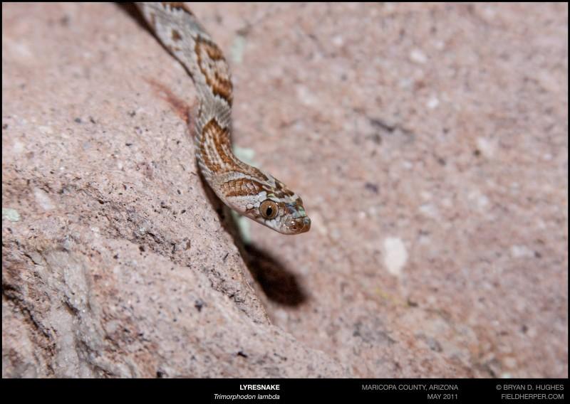 trimorphodon-lambda-053111-2