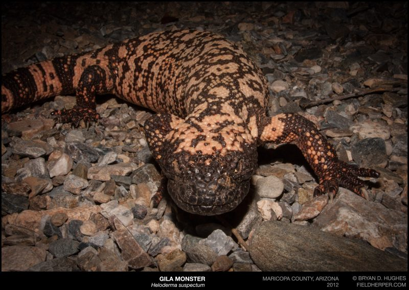Gila monster phoenix